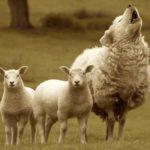 Bed-lamb